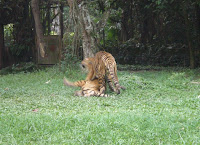 ini harimau