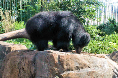 Mr. Sloth Bear