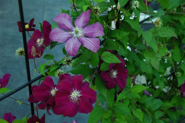 [Purple+climbing+flowers.jpg]