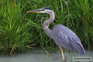 photo d'oiseau grand héron bleu great heron