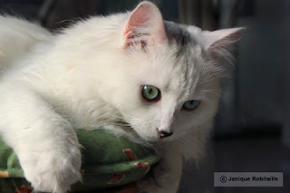 animal chat blanc