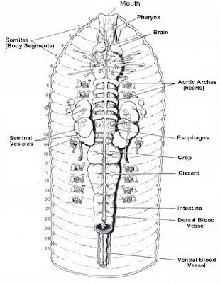 Internal Anatomy Of An Earthworm Diagram | Diagram