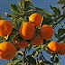 Valencian mandarins in Luxembourg squeeze