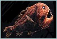 Anoplogaster brachycera