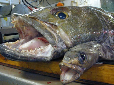 Chilean Sea Bass, one of the most over-fished aquatic creatures of all time
