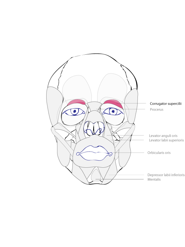 Zygomaticus Major And Minor Origin And Insertion Origin  mandible    Zygomaticus Major And Minor Origin And Insertion