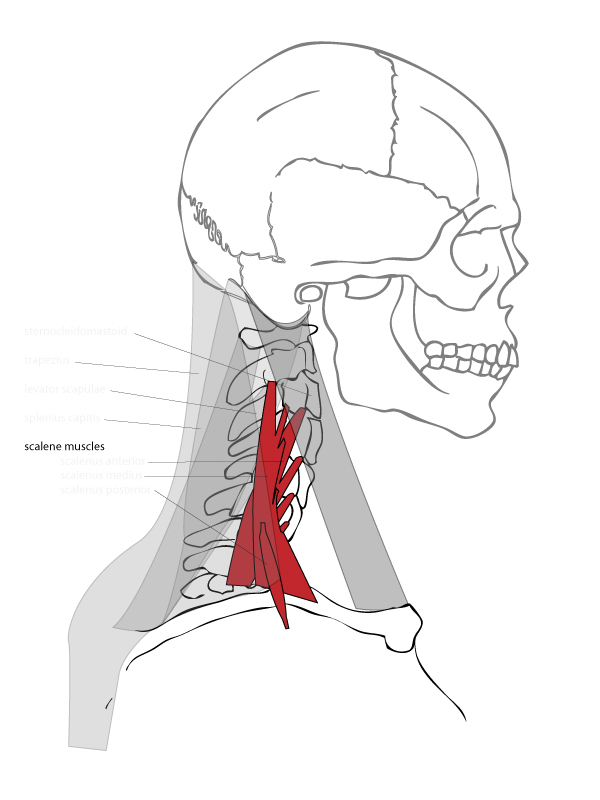 Paint Draw Paint Learn To Draw Drawing Basics Anatomy Of The Neck