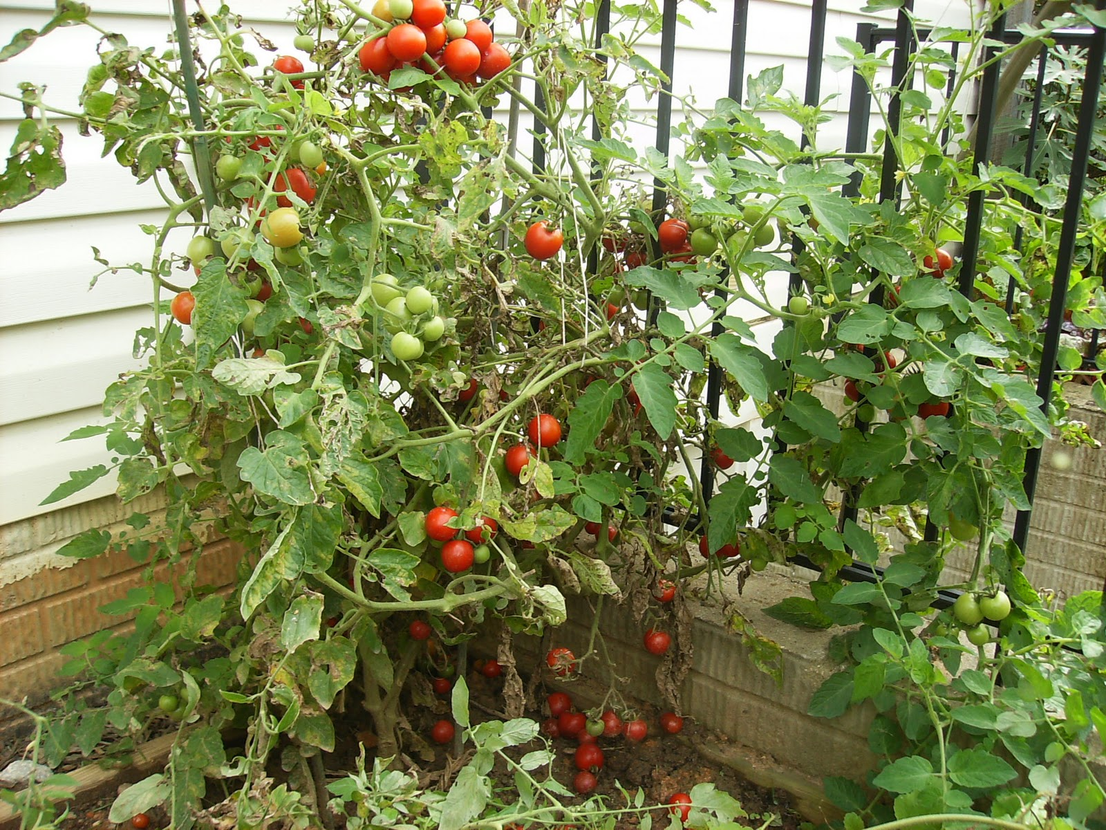 The October Garden What S Producing Tomatoes