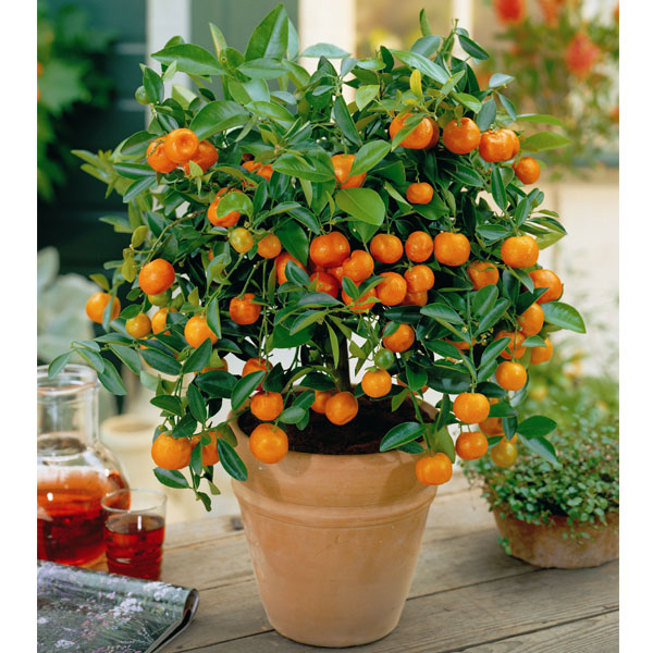 Garden Paradise: How To Grow Oranges Indoors With A Dwarf