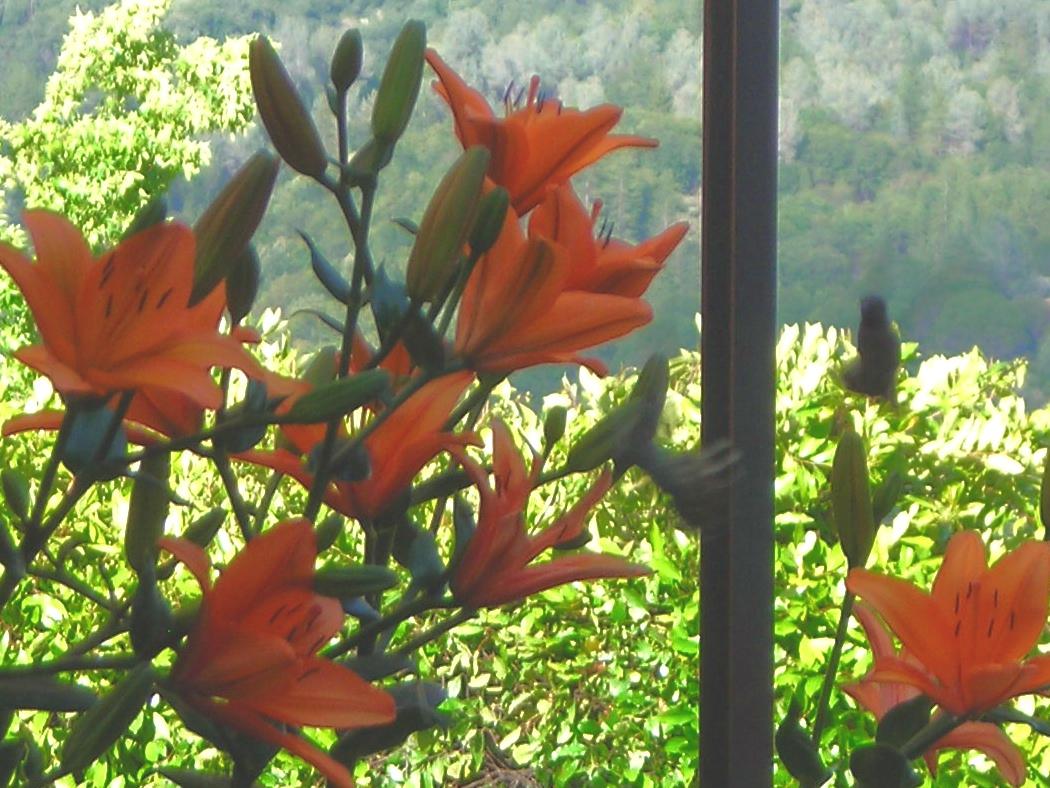 [lilies+2+007.jpg]