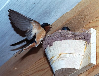 FOLKWAYS NOTEBOOK: BARNS, BARN SWALLOWS AND POPULATION DECLINE