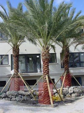 A Quality Plant Phoenix Dactylifera True Date Palm