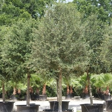 A Quality Plant Woody Ornamental Trees Florida Native