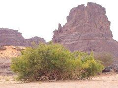 arāk en el desierto