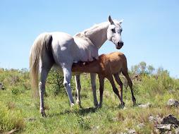caballos arabes