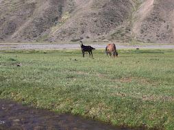 veranada. caballos en el rio atuel