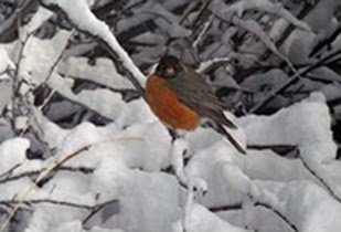 English-Robin-In-Snow