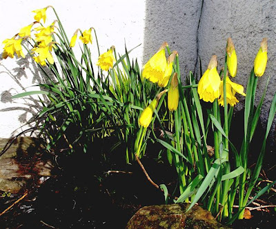 Scottish-Spring-Daffodils