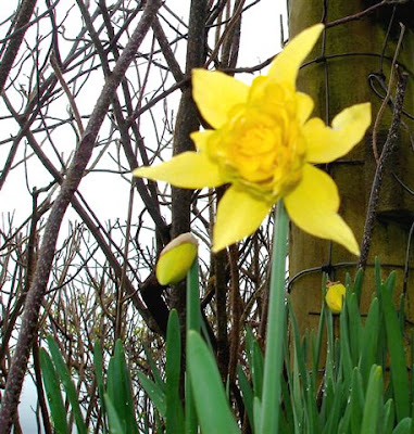 Daffodils-Under-Tree-Next-To-Loch