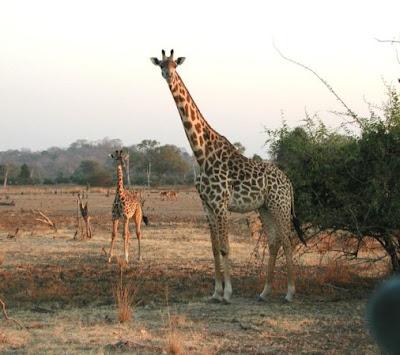 African-Giraffe-and-Baby-Zimbabwe