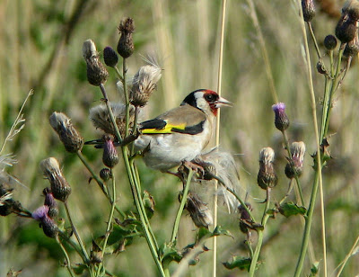Scottish-Gold-Finch