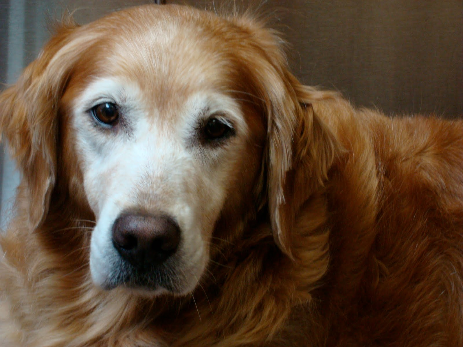lipoma Archives - Golden Woofs