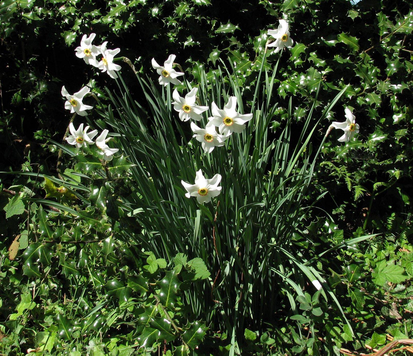 [20070502+Narcissus+jonquilla+b.JPG]