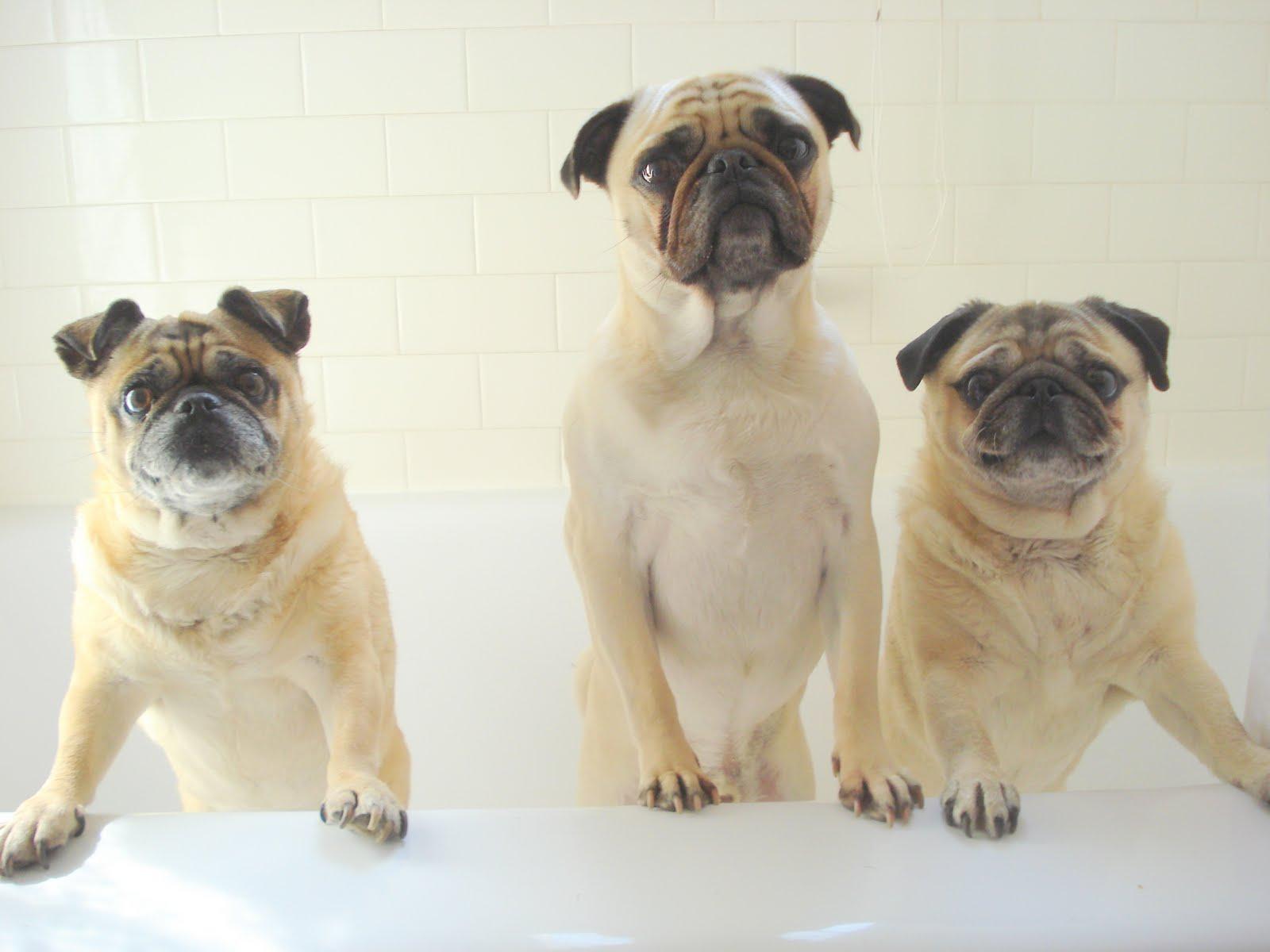 Wilma The Pug Rub A Dub Dub Three Pugs In A Tub