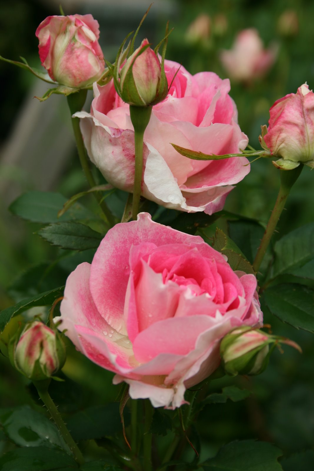 Roses In Garden: Aiken House & Gardens: Roses And Such