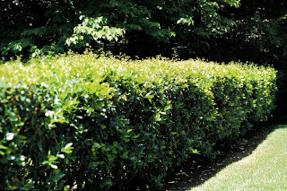 Ligustrum hedge—not the one I grew up with