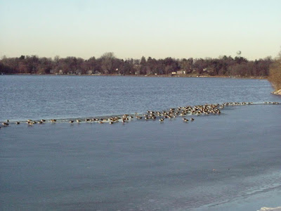 As they prepare to go south, the geese glean grain from the harvested cornfields, spending the rest of their time at the edge of the ice.  Here they can hop into the water at the first sign of a predator.