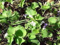Purple and white violets, volunteering in the garden