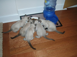 The Kittens Share their First Meal