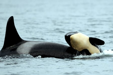 Center for Whale Research: Baby Killer Whales, Their ID ...