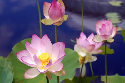 Nyc Nyc Lotus At The New York Botanical Garden