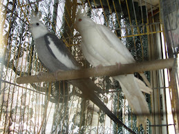 NINFAS SILVER y ALBINAS