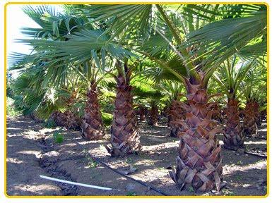 Gregory Palm Farms Mexican Fan Palms Washingtonia