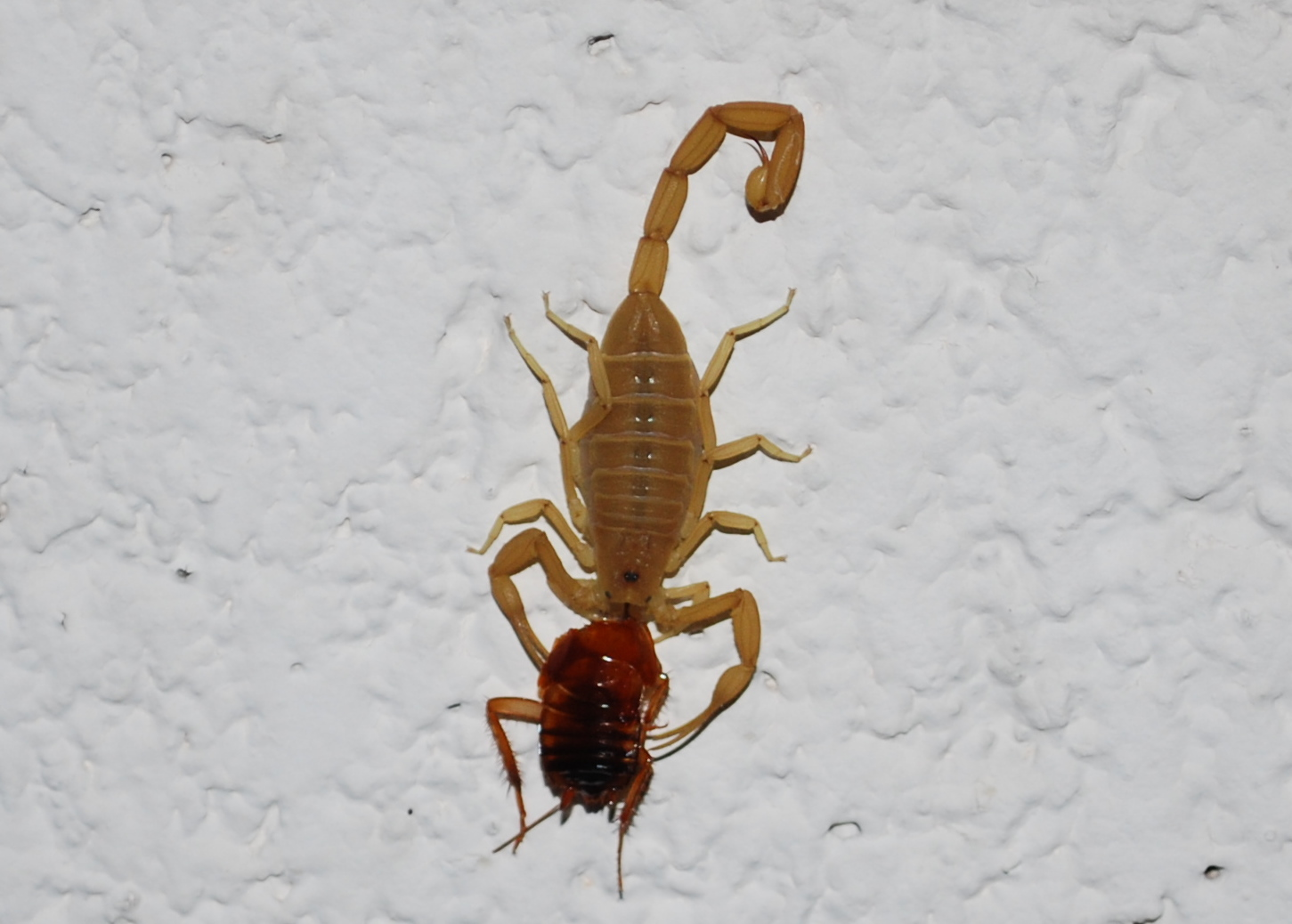 The Ostlund Times How To Catch A Scorpion
