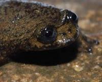 Bornean Flat-Headed Frog