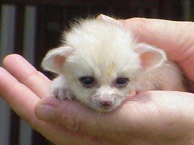 fennec5-smallest-fox.jpg