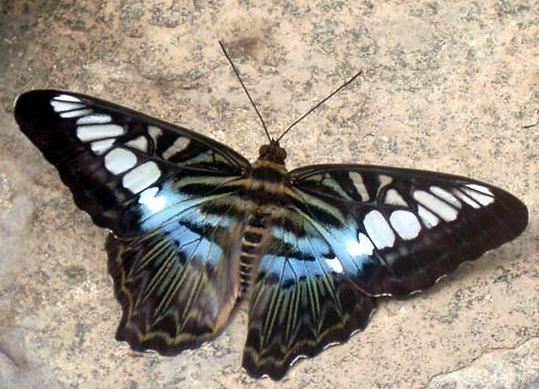 pappi = papillon