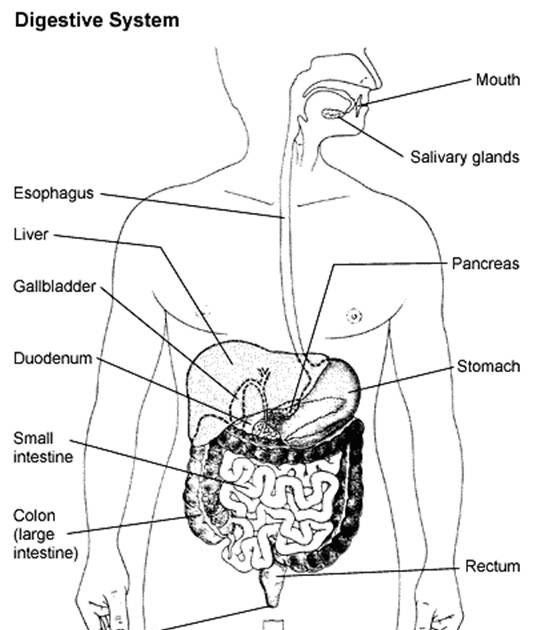 SCHOOL COLLEGE PROJECTS-SEMINARS...: Human Digestive System.