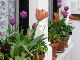 My neighbour's tulips