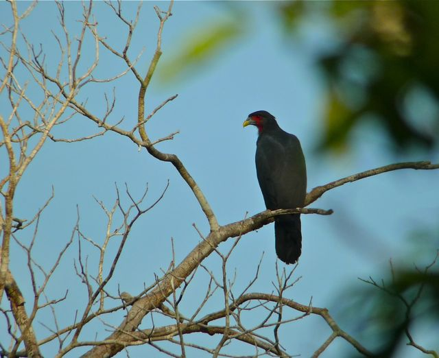 Bill Of The Birds On Blogspot Birding In Guyana Part 4