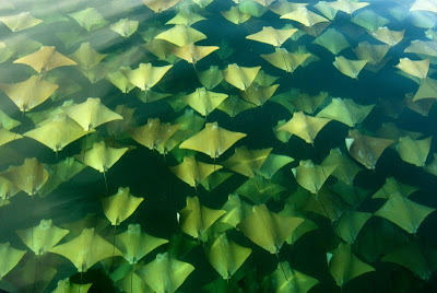 The great stingray migration -thousands of majestic stingrays swim to new seas