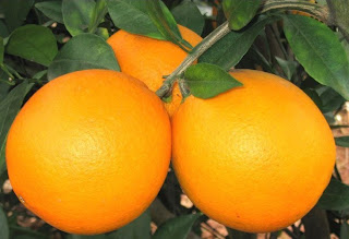 http://1.bp.blogspot.com/_DSWl7NbqcJQ/TN64E6sZY5I/AAAAAAAAAGM/XO_GgWincSI/s1600/Fresh-Fruit-Navel-Orange.jpg