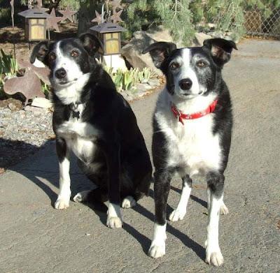 Pacific Northwest Border Collie Rescue