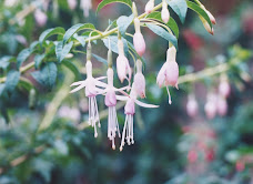 Chilco (Fuchsia magellanica)