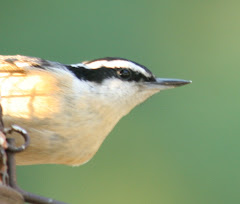 Another one of my favorites the RedBreasted Nuthatch