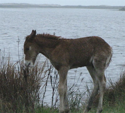 Viewing nature with Eileen: Camera Critters, Chincoteague ponies